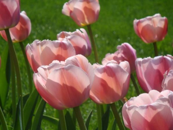 Pretty Public Garden Tulips